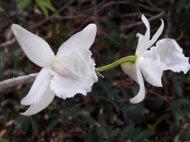 Flori frumoase de magnolie albă