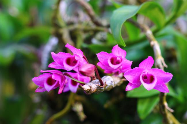 Flori frumoase de magnolie violet