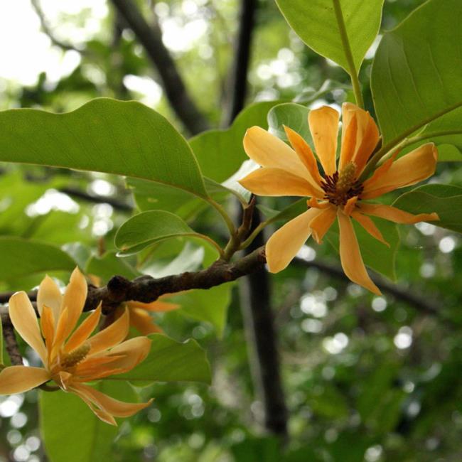 Frumoase flori galbene de ylang