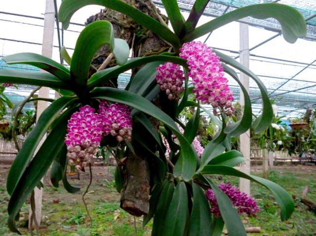 Magnolia frumoasă flori orhidee de pădure