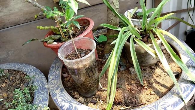 Imagini frumoase ghivece de plante cu arbori de magnolie