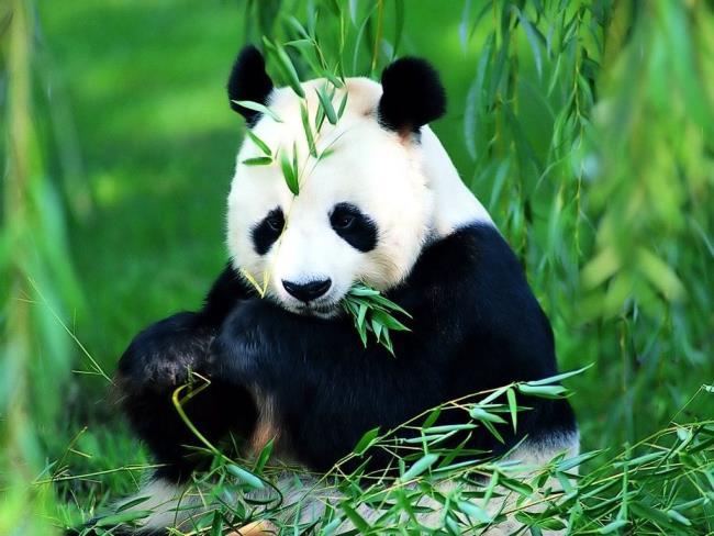 Informasi tentang panda Panda
