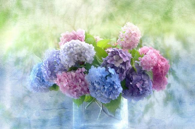 Rezumatul celor mai frumoase flori de hortensie handheld