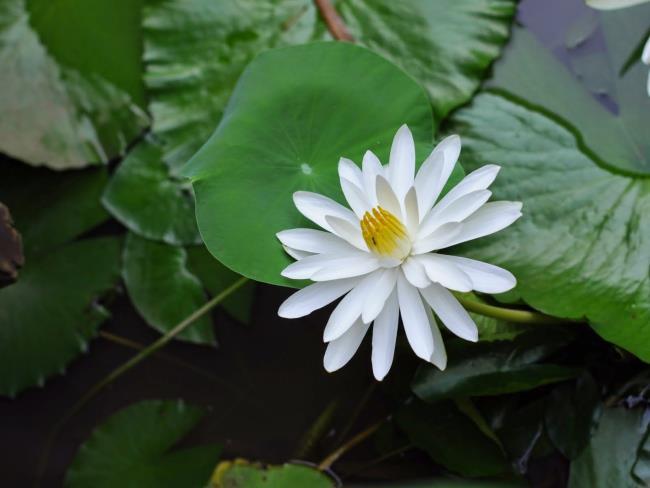 Красивые белые лилии изображения