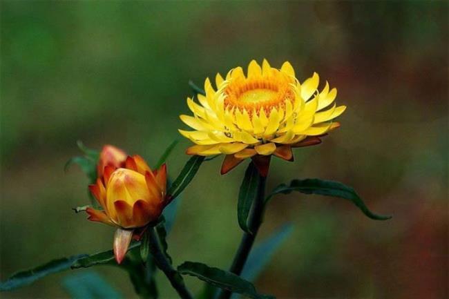 Zusammenfassung der schönsten unsterblichen Blumen