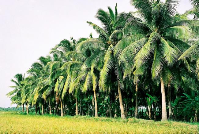Синтез самой красивой кокосовой пальмы