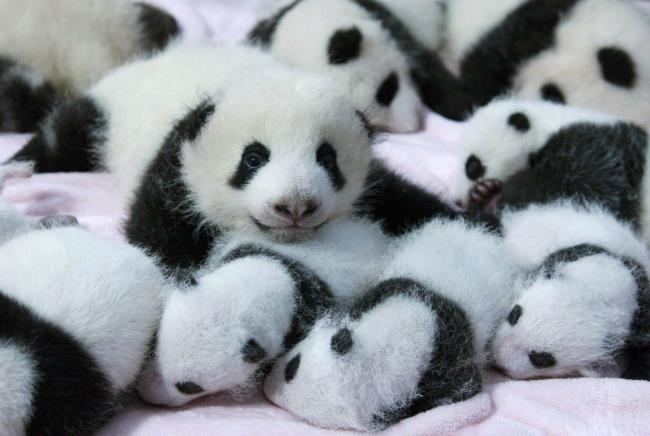 Colecție de imagini frumoase Panda