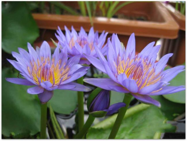 Красивые фиолетовые лилии изображения