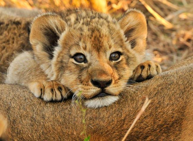 最も美しいライオンの画像のまとめ
