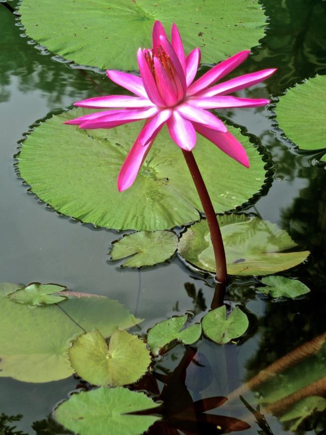Красивые картинки японских лилий
