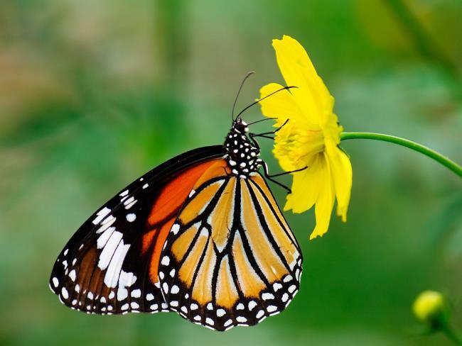 Лучшие изображения бабочек в качестве красивых обоев
