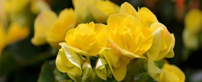 Красивое изображение цветка бегонии