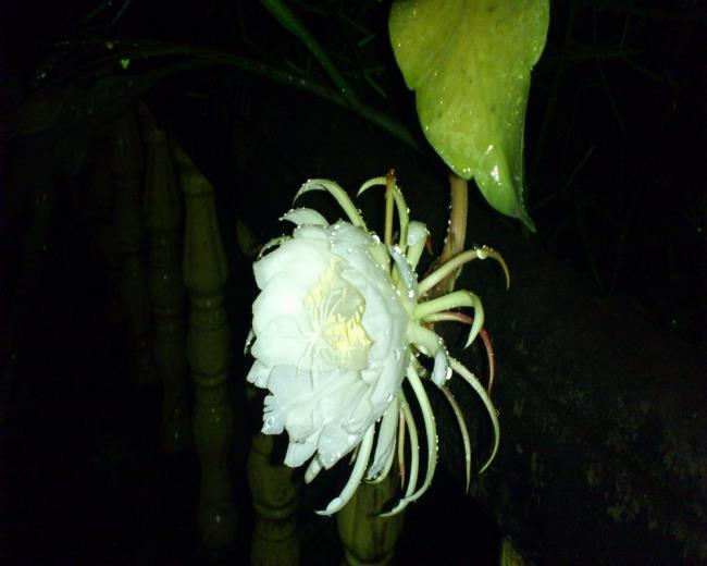 الزهور البيضاء الجميلة quỳnh