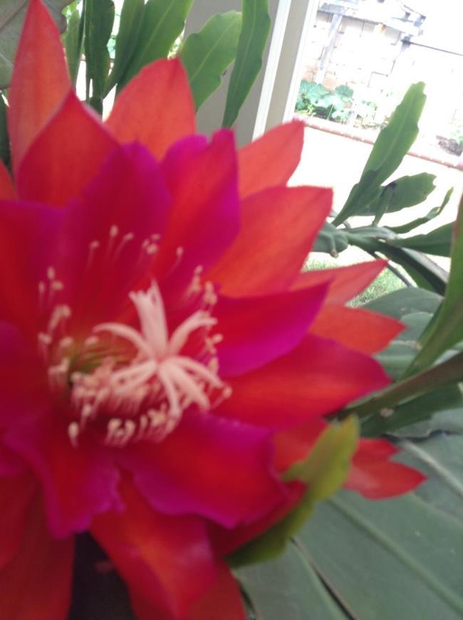 الزهور الحمراء الجميلة quỳnh