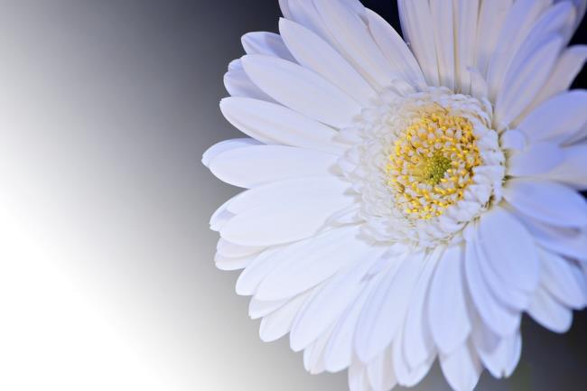 Photos beautiful white gerberas