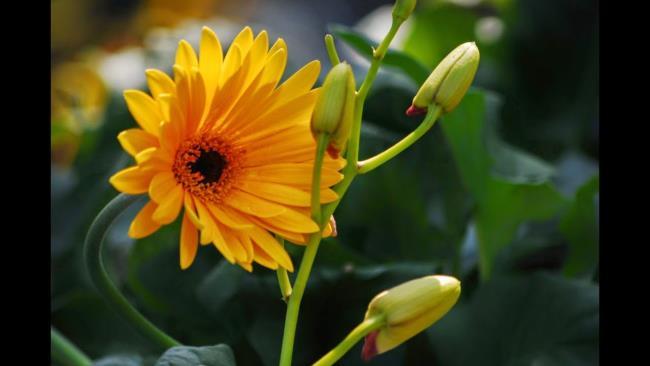 Beautiful golden gerbera flower image