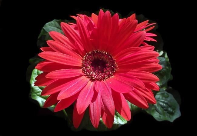 Photos beautiful red gerberas