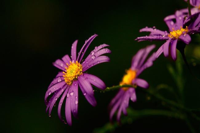Photos beautiful purple gerberas