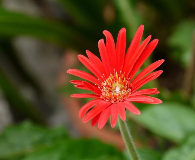 Beautiful single gerberas image