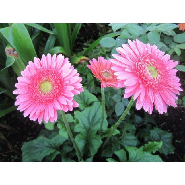 Beautiful double gerberas images