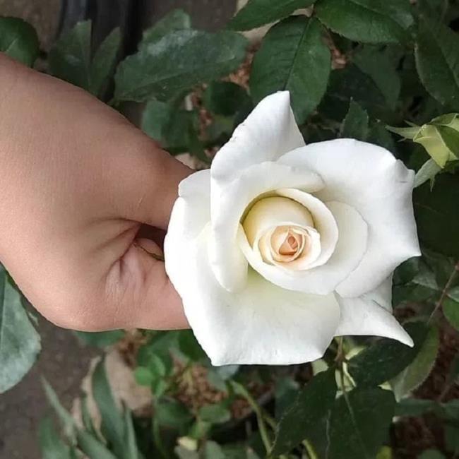 सबसे सुंदर सफेद गुलाब चित्रों का संग्रह