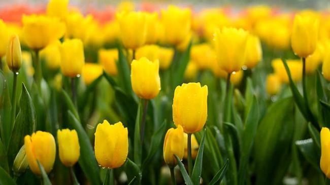 خلاصه ای از زیباترین لاله های زرد
