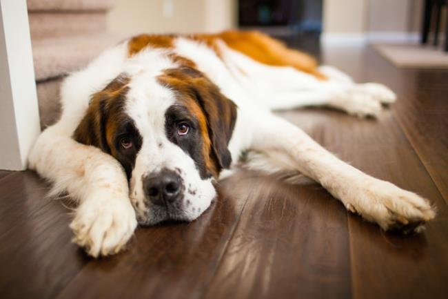 सबसे सुंदर छवि सेंट बर्नार्ड कुत्ते का संश्लेषण