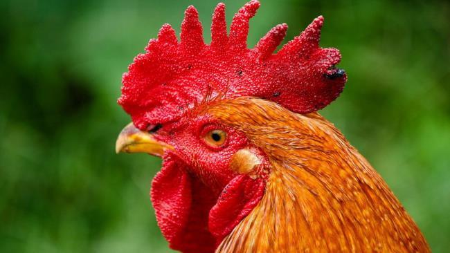 सुपर यथार्थवादी, सुंदर मुर्गियों का संग्रह