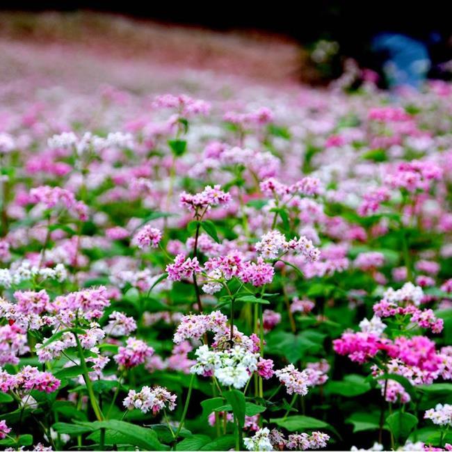 Gambar bunga segitiga litar yang indah