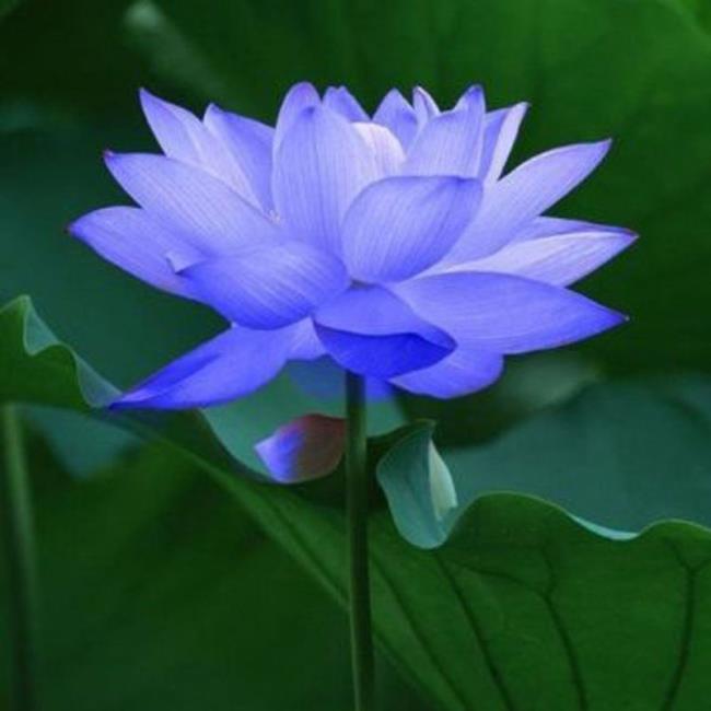 تصویر آبی نیلوفر آبی زیبا 1