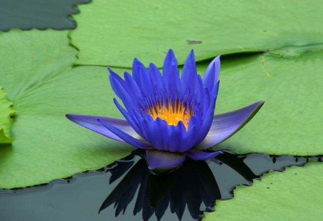 تصویر آبی نیلوفر آبی زیبا 2