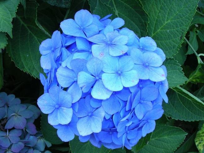 सुंदर नीले हाइड्रेंजस