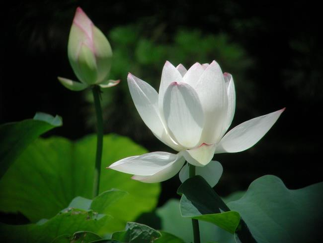 خلاصه تصاویر زیبای نیلوفر آبی سفید 1