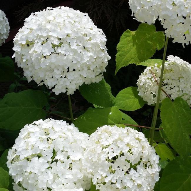 सुंदर सफेद हाइड्रेंजस