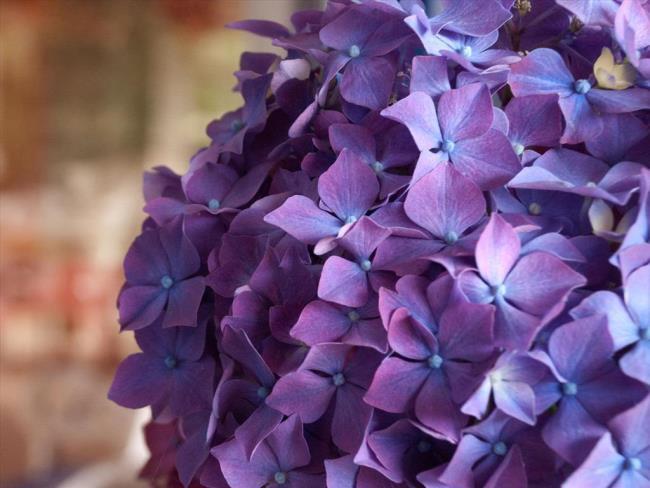 सुंदर बैंगनी हाइड्रेंजस