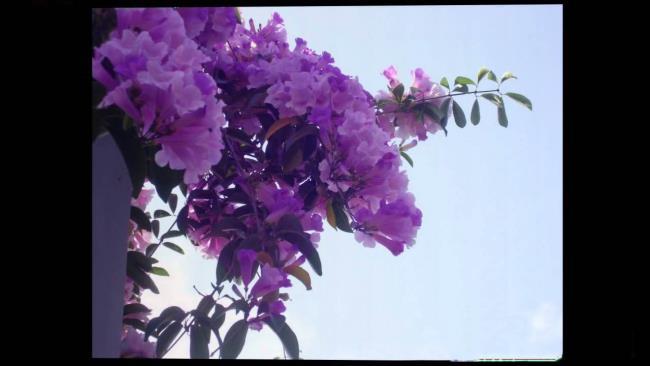 Сбор изображений самой красивой чесночной орхидеи