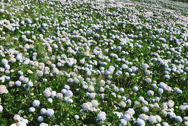 खूबसूरत हाइड्रेंजस गार्डन की खूबसूरत तस्वीरें