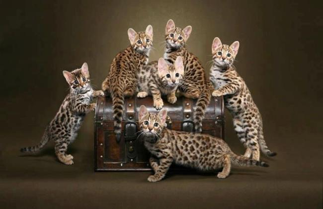 Collection of the most beautiful Bengal cats
