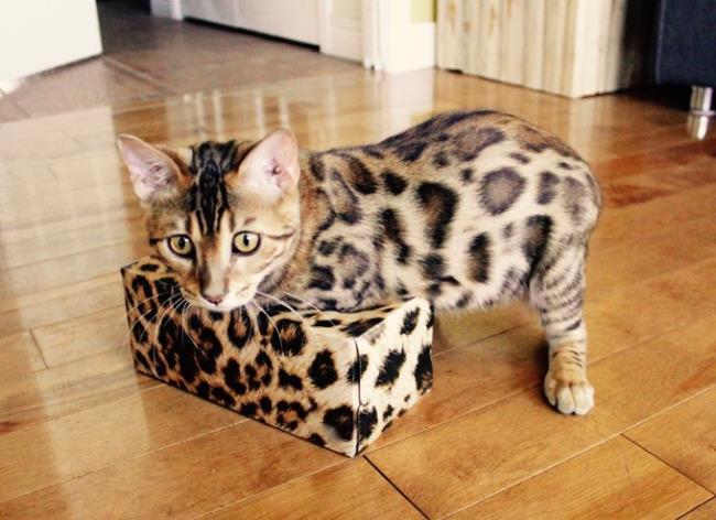 Collection des plus beaux chats du Bengale