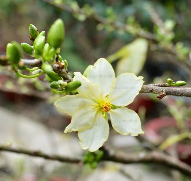 Zusammenfassung der schönsten weißen Aprikosenblüten