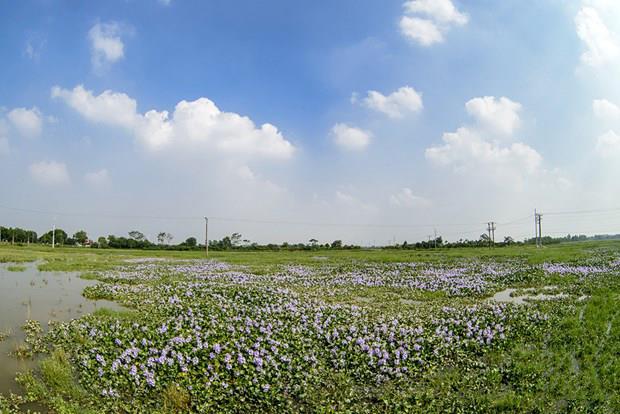 जलकुंभी के फूलों की सबसे अच्छी छवियों का सारांश