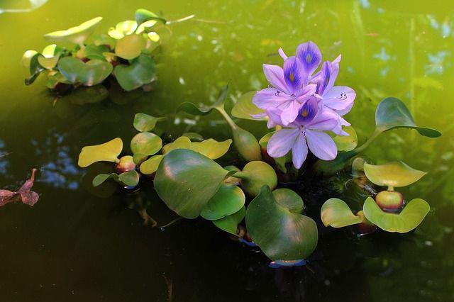 सबसे सुंदर जलकुंभी छवियों का संग्रह