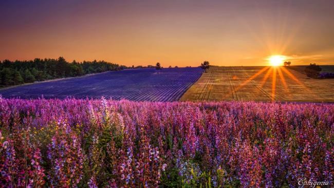 Photos beaux champs de lavande