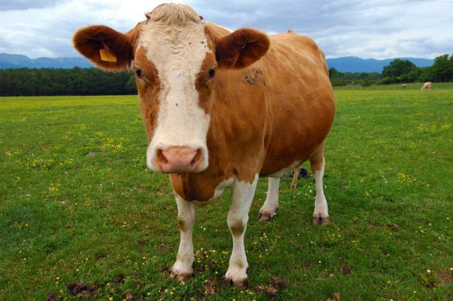 خلاصه ای از زیباترین تصویر گاو