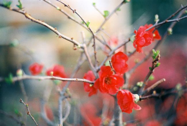 خلاصه ای از زیباترین گلهای زردآلو قرمز