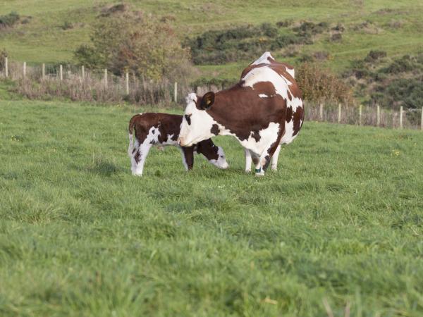 Краткое описание самого красивого изображения коровы