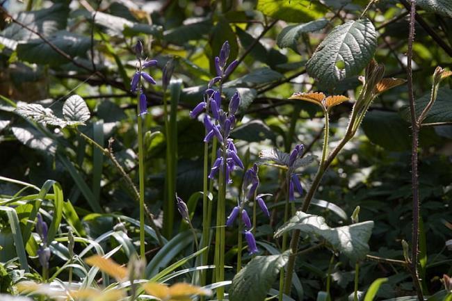 Sammlung der schönsten blauen Glockenblumen