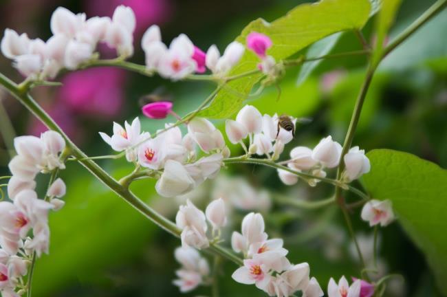Gambar bunga harimau putih yang cantik