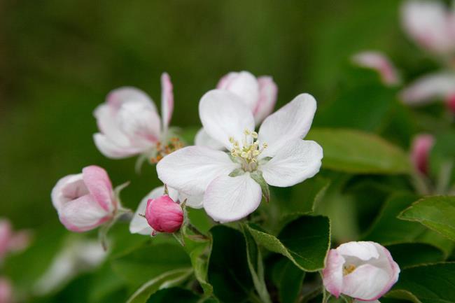 सबसे सुंदर सेब फूल छवियों का संग्रह