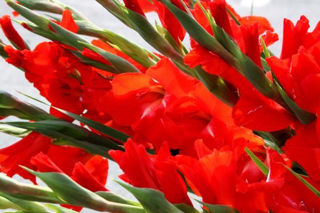 Rezumatul imaginilor frumoase cu gladiol roșu